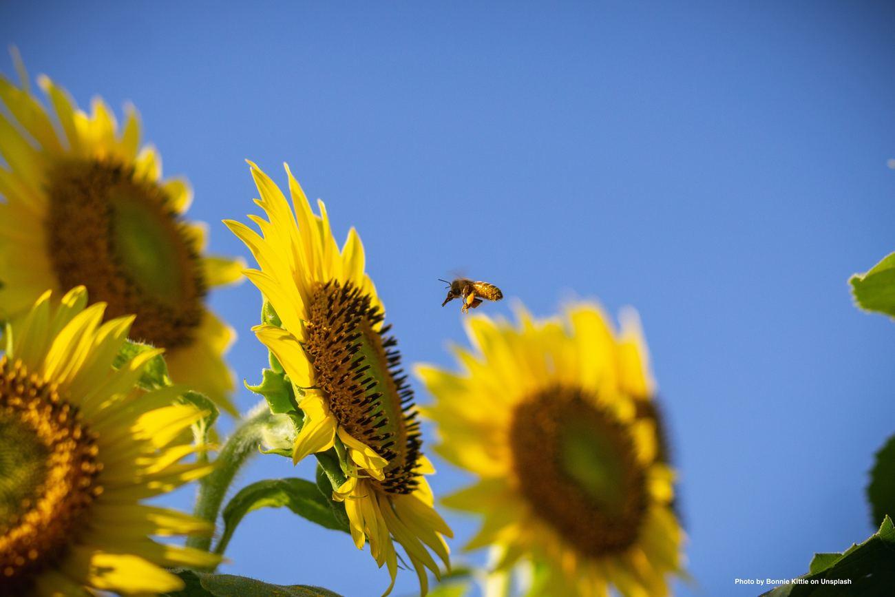 Sonnenblumen mit Biene vor blauem Himmel